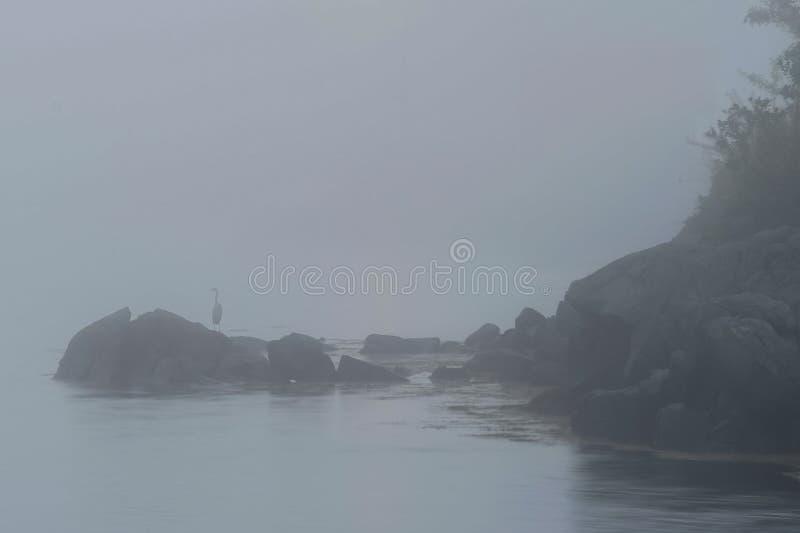 Цапля маленькой сини в тумане стоковая фотография rf