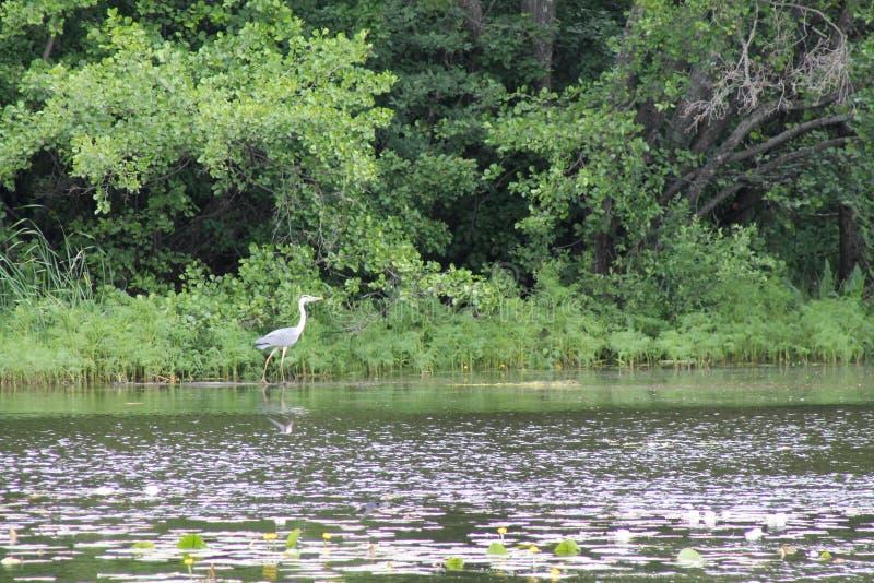 Цапля на крае озера стоковая фотография rf