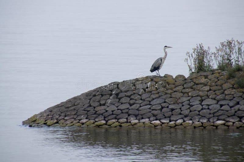 Цапля просыпается на dike в IJsselmeer стоковые фотографии rf