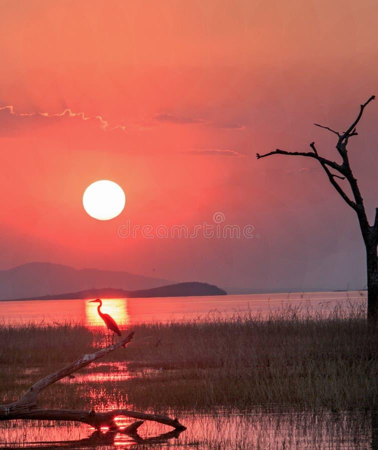 Цапля сидит в прямой линии красивого захода солнца на озере Kariba стоковое фото