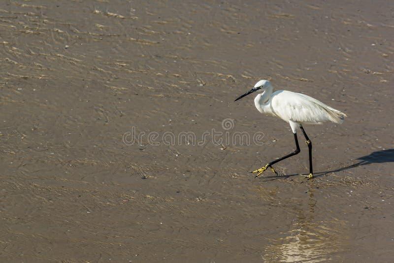 Цапля с длинной шеей идет вдоль seashore стоковая фотография rf