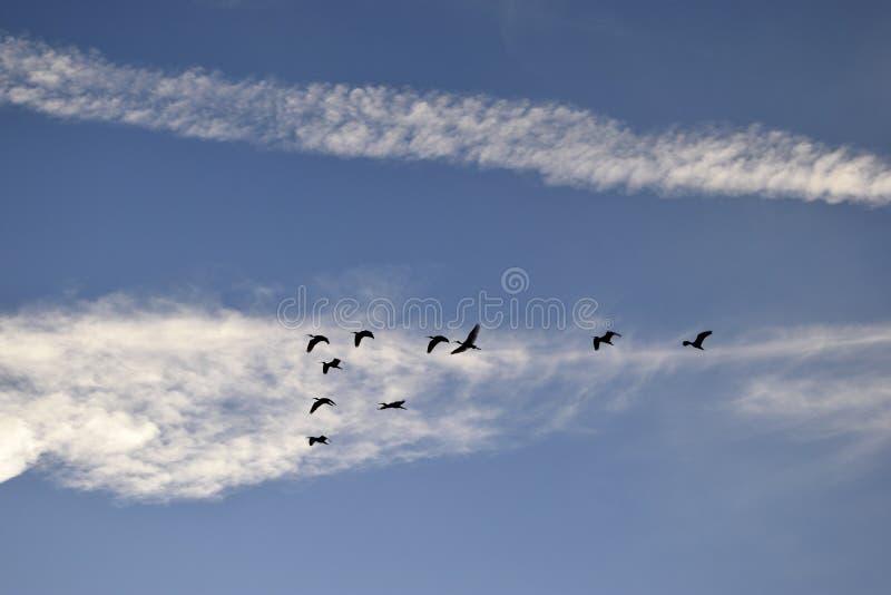 Цапли большой белизны в голубых небесах стоковое изображение