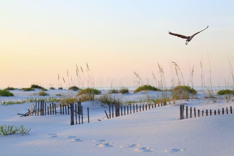 Цапля большой сини летая над древним пляжем Флориды на восходе солнца