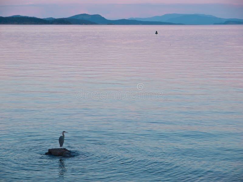 Цапля большой сини стоит на утесе около берега на заходе солнца стоковые фото