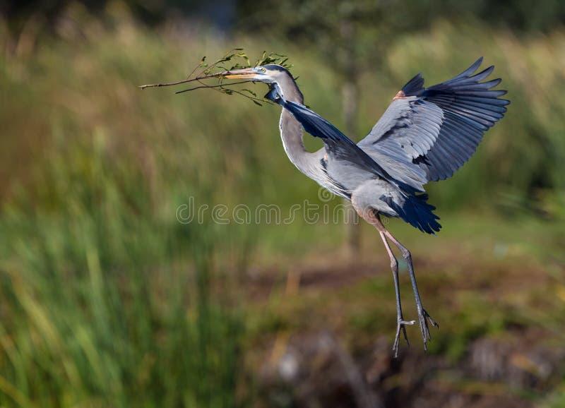 Цапля гнездиться голубая в полете стоковое фото