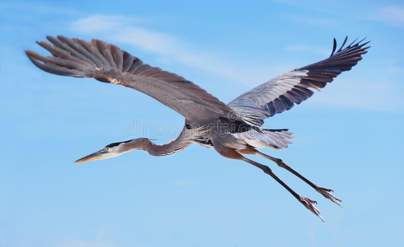 цапля голубого полета большая стоковые фотографии rf