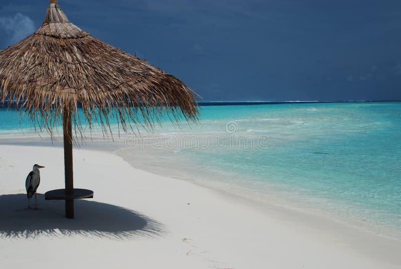 Цапля на тропическом пляже. Остров Gangehi, Мальдивы стоковые фото
