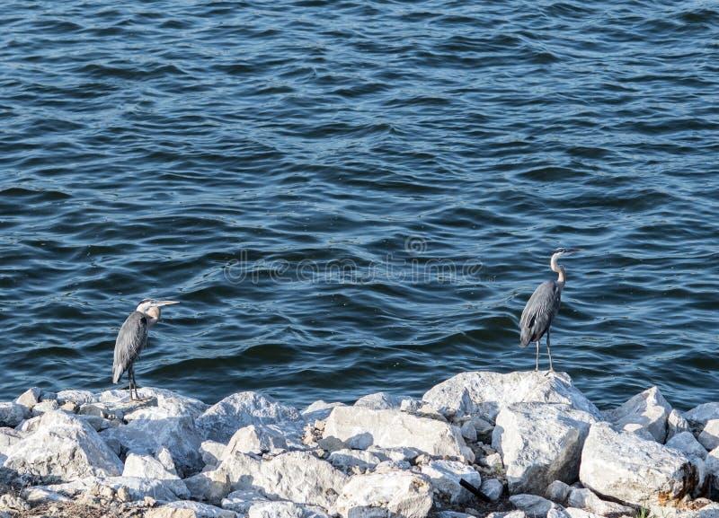 Цапля & открытое море большой сини стоковые фото