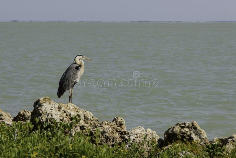 Цапля сини Мексиканского залива стоковое изображение