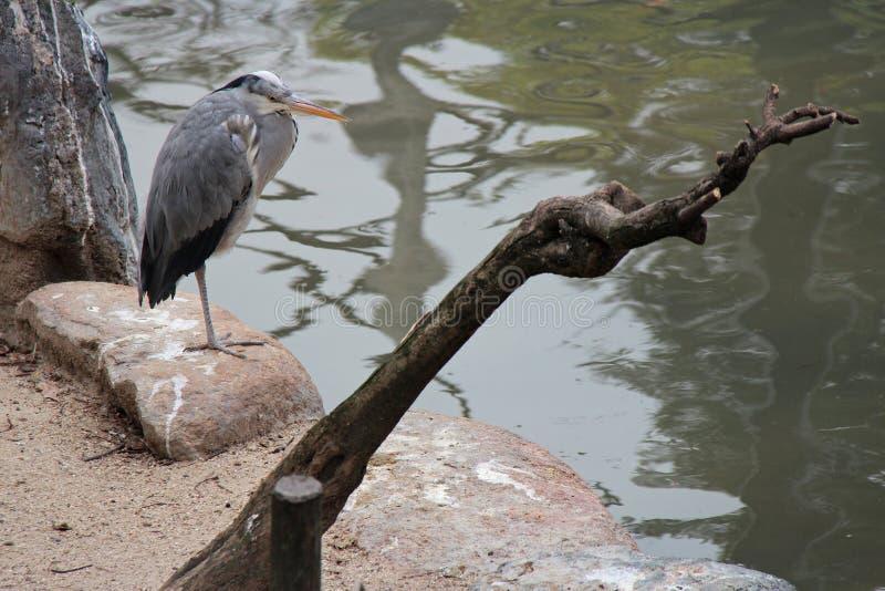 Цапля стоит на утесе в зоопарке Осака (Япония) стоковые изображения