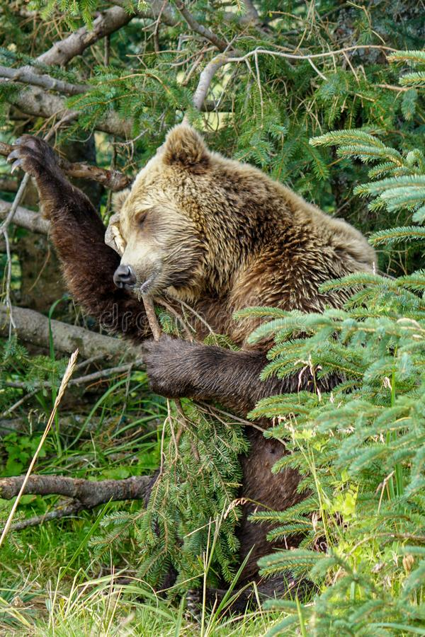 Царапать бурого медведя стоковая фотография