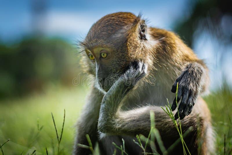 Царапины макаки на голове используя более низкий лимб, обезьяна сидят на зеленом травянистом луге, национальном парке в Таиланде стоковые фотографии rf