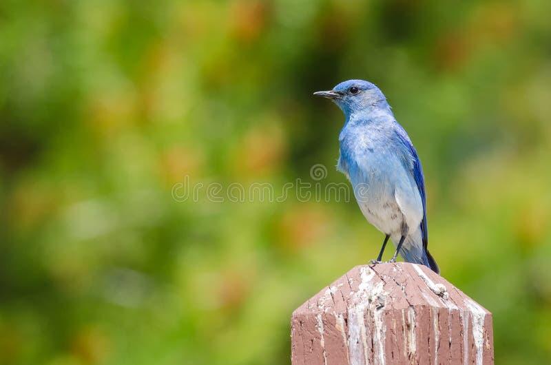 Царственная синяя птица горы садить на насест на деревянном столбе стоковые фото
