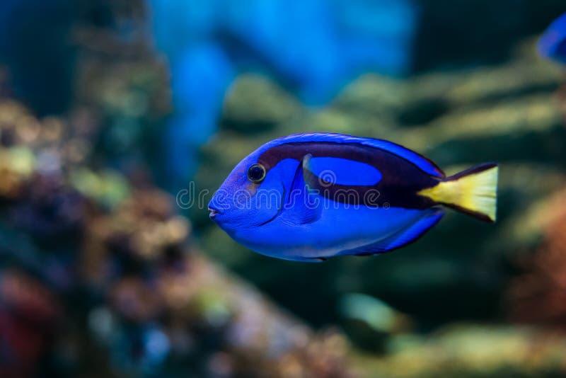 Царственные рыбы тяни стоковое изображение rf