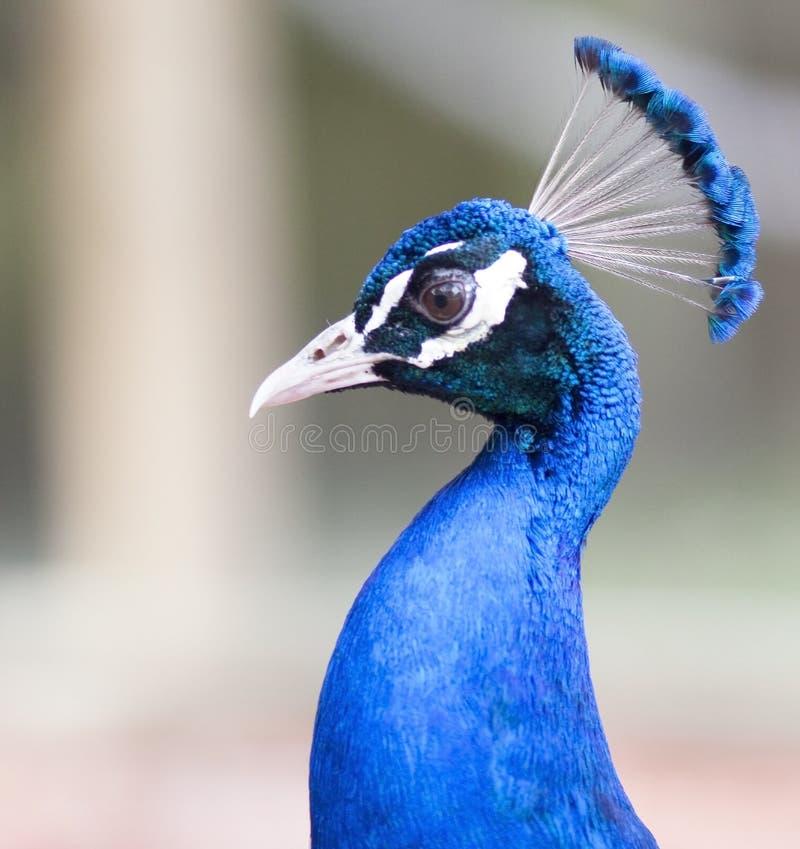 Царственный голубой портрет павлина стоковые фотографии rf