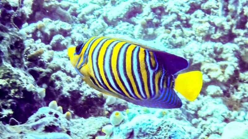 Царственный angelfish в коралловом рифе, Мальдивы стоковое фото rf