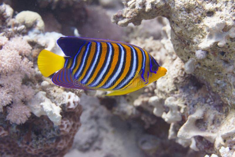 Царственный Angelfish в Красном Море стоковое изображение