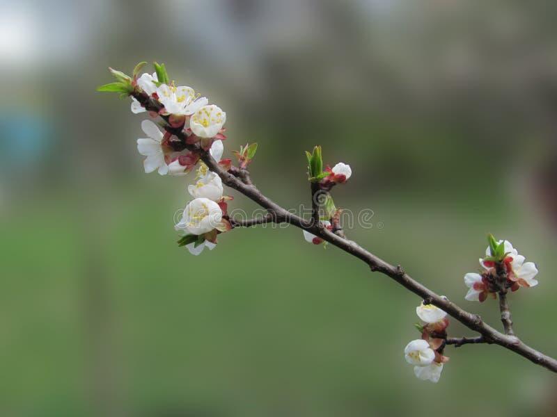 Цвести ветвь дерева, мелкий dof стоковая фотография