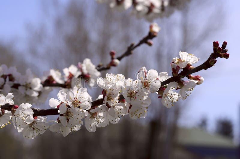 Цвести ветвь дерева с белыми цветками против голубого неба и сада стоковые фотографии rf
