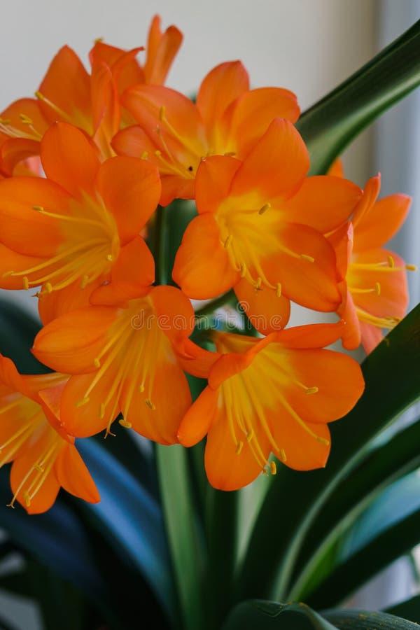 Цвести ветвь оранжевых цветков clivia в цветочном горшке стоковые фотографии rf