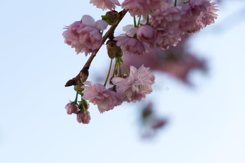 Цвести дерева весны Дерево подняло за загородкой Словакия стоковые изображения