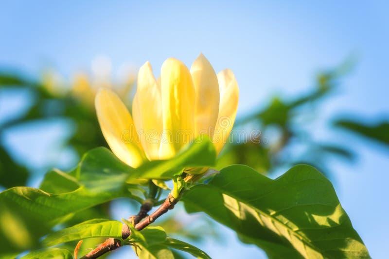 Цвести желтый цветок в саде, изображение магнолии макроса, естественная сезонная флористическая предпосылка стоковые фото