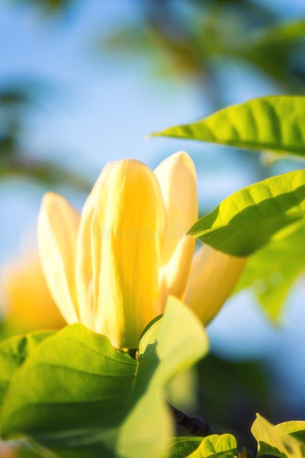 Цвести желтый цветок в саде, изображение магнолии макроса, естественная сезонная флористическая предпосылка стоковое изображение