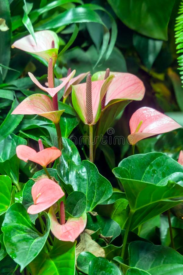 Цвести завод антуриума - цветков фламинго стоковая фотография