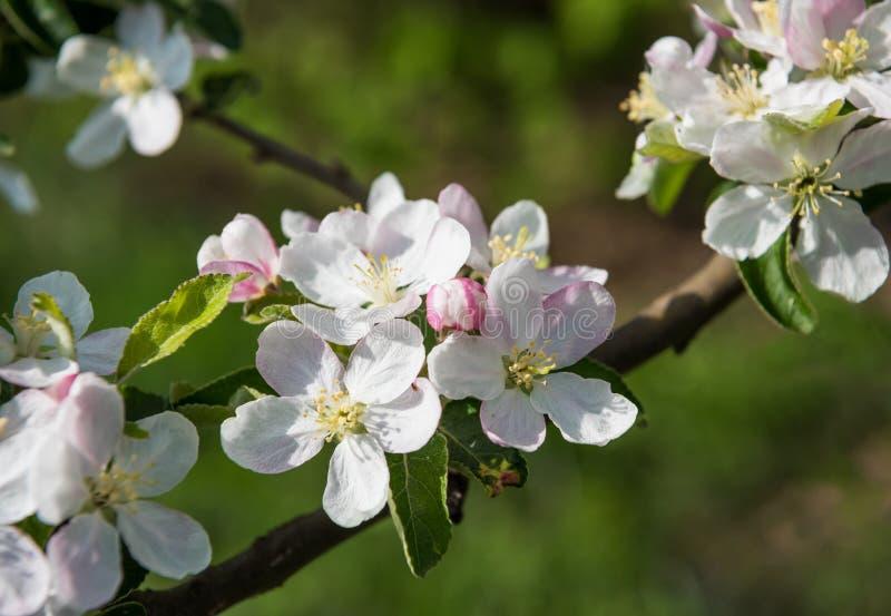 Цвести завтрак-обед дерева с бело-розовыми цветками стоковые фото