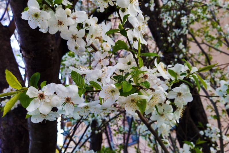 Цвести зацветающ на деревьях в весеннем времени Зацветать цветков яблони стоковые изображения