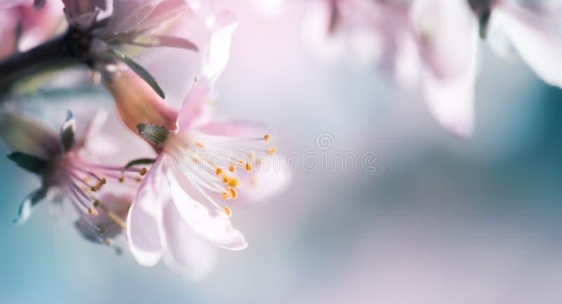 Цвести миндалина на предпосылке ветвей стоковые фото