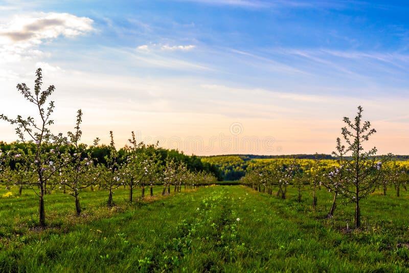 Цвести молодой сад яблока на съемке солнечного света dus широкоформатной с выборочным фокусом и нерезкостью boke стоковое изображение rf
