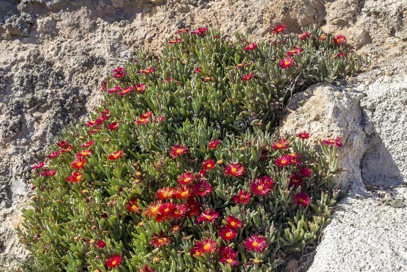 Цвести, низкорослый кустарник Delosperma с красный расти цветков против скалы стоковая фотография