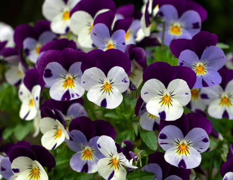 Цвести пурпурные и белые pansies, wittrockiana альта в саде стоковые фотографии rf