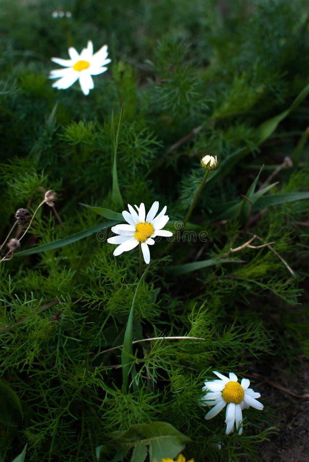 Цвести Стоцвет Зацветая поле стоцвета, цветки стоцвета на луге летом, выборочным фокусом стоковые изображения