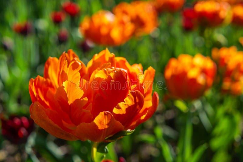 Цвести тюльпанов в парке города стоковые фотографии rf