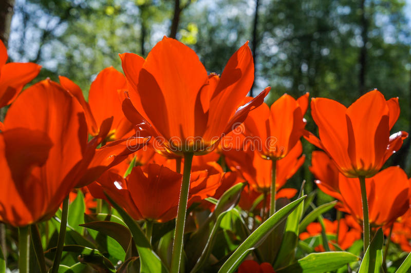 Цвести тюльпанов в парке города стоковое изображение rf