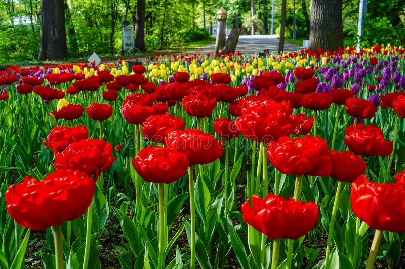 Цвести тюльпанов в парке города стоковое изображение