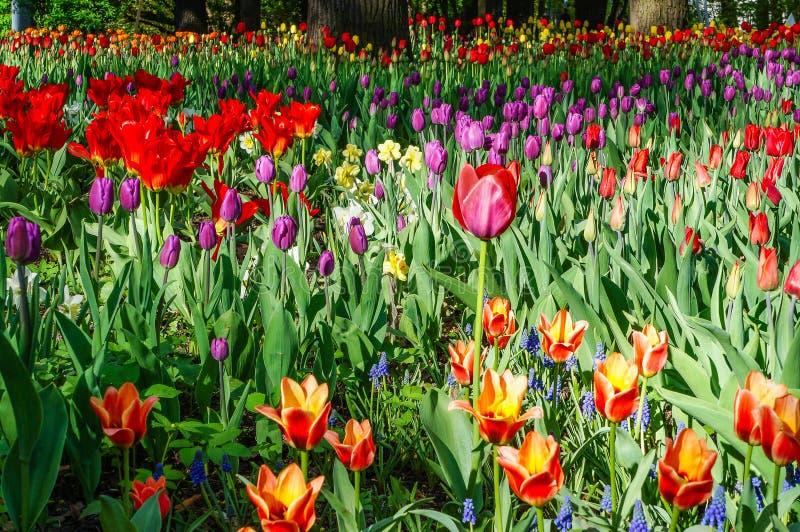 Цвести тюльпанов в парке города стоковое фото