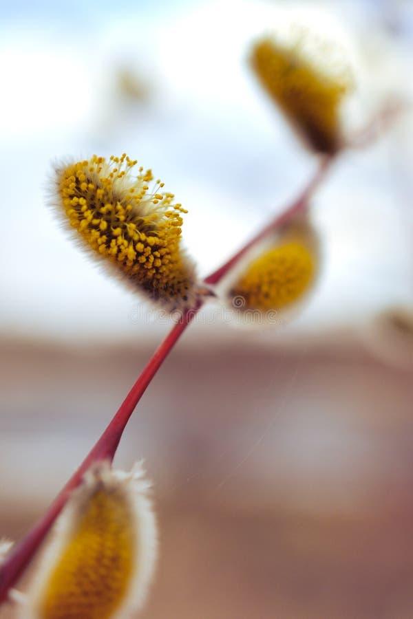 Цвести цветки вербы весной Чувствительные catkins полные желтого цветня стоковые фотографии rf