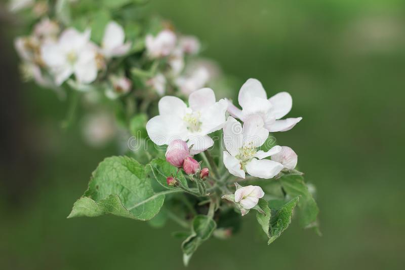 Цвести яблони в саде весны стоковое фото