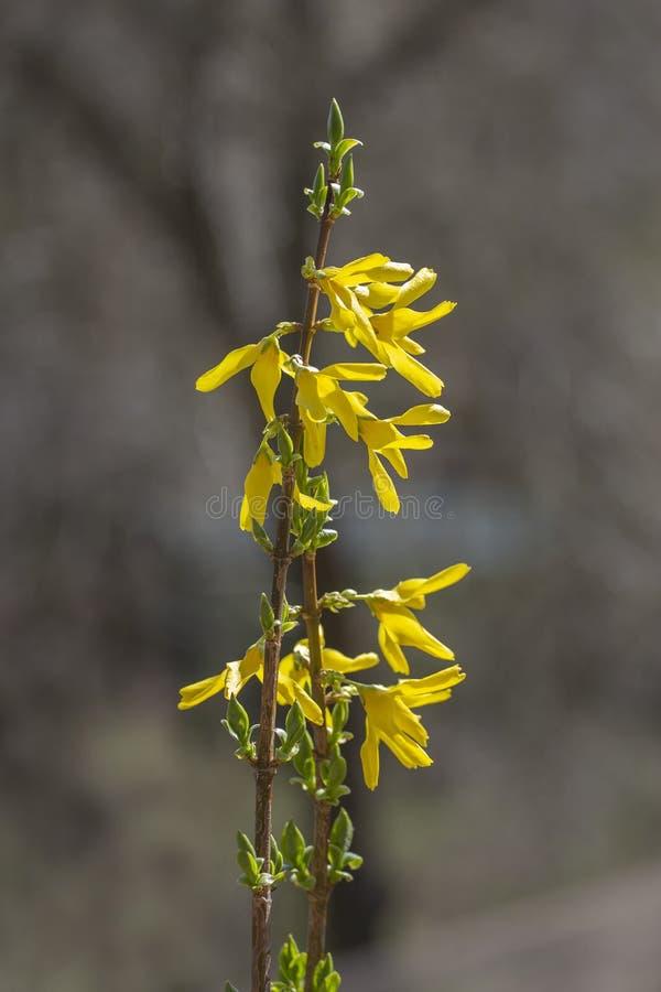 Цвести forsythia в саде стоковые фотографии rf