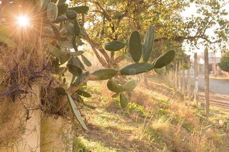 Цвести Opuntia кактуса в утре 05 зимы стоковое изображение rf
