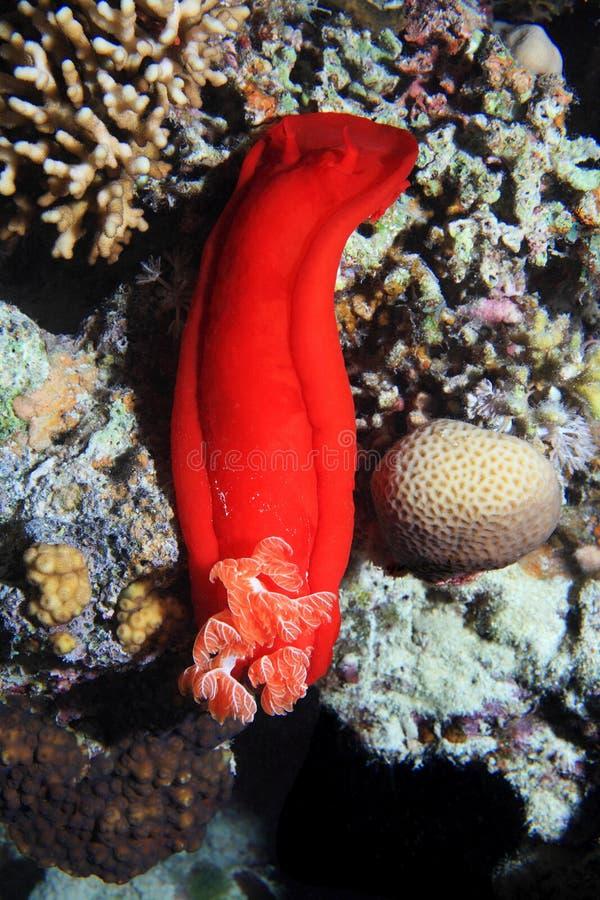 цветастая женщина танцора как испанский язык куска металла моря nudibranch взглядов стоковая фотография rf