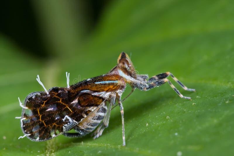 цветастое planthopper стоковые фотографии rf