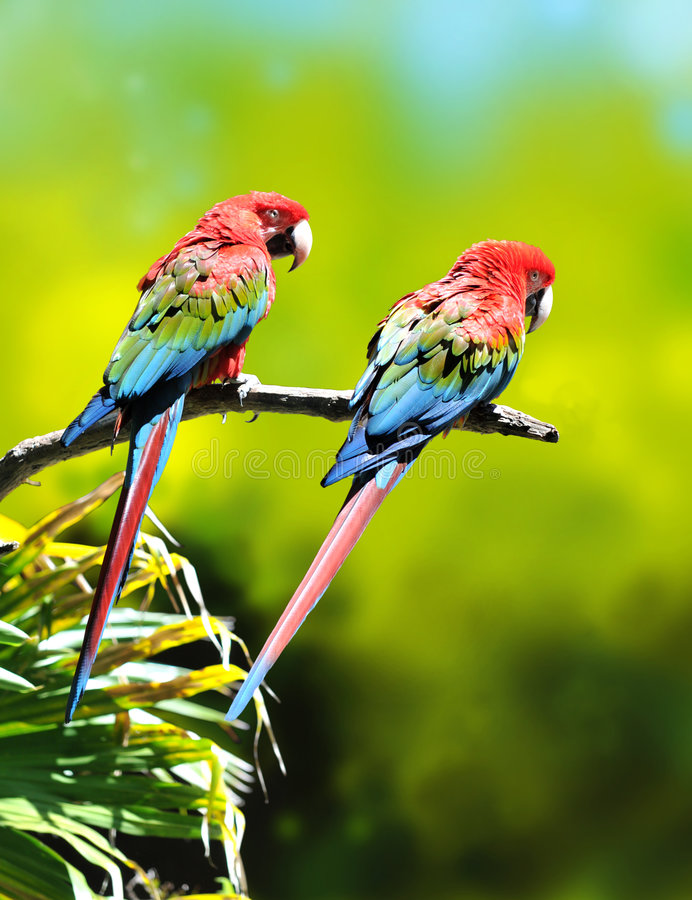 цветастые попыгаи macaw стоковое фото rf