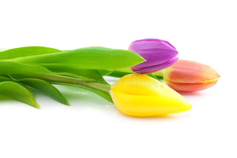 Цветастые тюльпаны стоковое изображение rf
