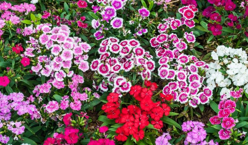 Цветок гвоздики стоковое фото rf