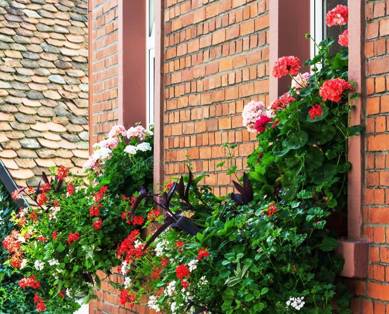 Цветастые цветки гераниума стоковые изображения rf