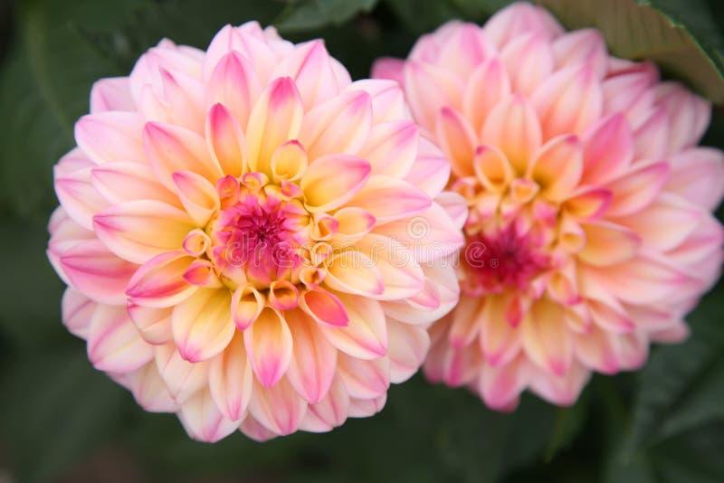 цветастый георгин стоковое фото